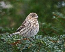 A house finch in Framingham, photographed by Joan Chasan.