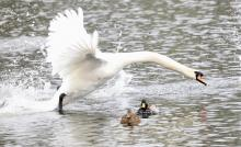 A mute swan and mallards at Hager Pond in Marlborough, photographed by Steve Forman.