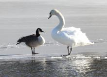 A Canada goose and a mute swan at Hager Pond in Marlborough, photographed by Steve Forman.