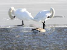 A Canada goose and mute swans at Hager Pond in Marlborough, photographed by Steve Forman.