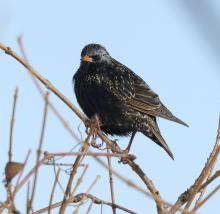 A European starling at Breakneck Hill Conservation Land in Southborough, photographed by Steve Forman.