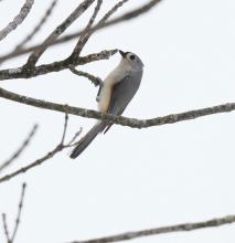 A tufted titmouse at Breakneck Hill Conservation Land in Southborough, photographed by Steve Forman.