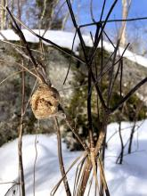 A praying mantis egg case at SVT's Willman Wetlands in Southborough, photographed by Debbie Costine.
