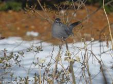 A gray catbird in Ashland, photographed by Laurene Hunt.