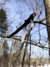 Sap dripping from a red maple at SVT's Willman Wetlands in Southborough, photographed by Debbie Costine.