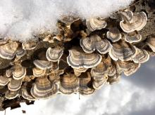 Turkey tail fungus at SVT's Willman Wetlands in Southborough, photographed by Debbie Costine.