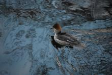 A hooded merganser on the Sudbury River in Framingham, photographed by Brendan Kearney.