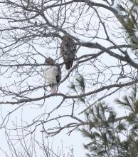 Red-tailed hawks at Breakneck Hill Conservation Land in Southborough, photographed by Steve Forman.