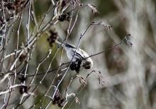 A common redpoll at SVT's Memorial Forest in Sudbury, photographed by Victoria Holland.