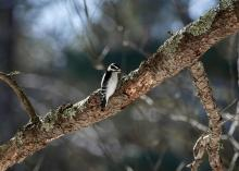 A downy woodpecker at SVT's Memorial Forest in Sudbury, photographed by Victoria Holland.