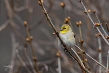 An American goldfinch in Westborough, photographed by Nancy Wright.