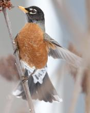 An American robin at Breakneck Hill Conservation Land in Southborough, photographed by Steve Forman.