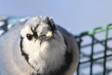A blue jay in Maynard, photographed by Gail Sartori.