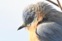 An eastern bluebird in Maynard, photographed by Gail Sartori.