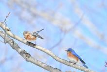 Eastern bluebirds in Maynard, photographed by Gail Sartori.