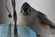 A tufted titmouse in Maynard, photographed by Gail Sartori.