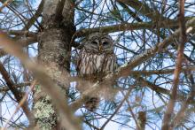 A barred owl in Bolton, photographed by Jon Turner.