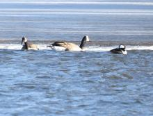Canada geese and a hooded merganser at Hager Pond in Marlborough, photographed by Steve Forman.