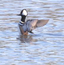 A hooded merganser at Hager Pond in Marlborough, photographed by Steve Forman.