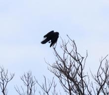 An American crow at Hager Pond in Marlborough, photographed by Steve Forman.