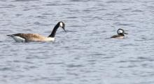 A Canada goose and a hooded merganser at Hager Pond in Marlborough, photographed by Steve Forman.