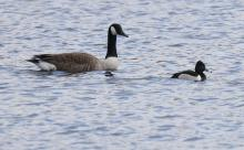 A Canada goose and a ring-necked duck at Hager Pond in Marlborough, photographed by Steve Forman.
