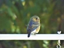 An eastern bluebird in Harvard, photographed by Robin Right.