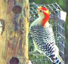 A red-bellied woodpecker in Harvard, photographed by Robin Right.
