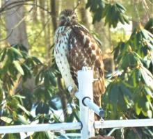 A red-shouldered hawk in Harvard, photographed by Robin Right.