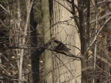 A mourning dove at Dudley Woods in Wayland, photographed by Lucian Vazquez.