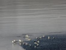 Ring-billed gulls at Lake Cochituate in Wayland, photographed by Lucian Vazquez.