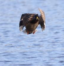 A mallard at Hager Pond in Marlborough, photographed by Steve Forman.