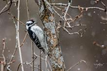 A downy woodpecker in Westborough, photographed by Nancy Wright.