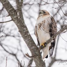 A red-tailed hawk in Westborough, photographed by Nancy Wright.
