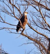 A bald eagle at Hager Pond in Marlborough, photographed by Steve Forman.