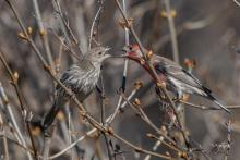 House finches in Westborough, photographed by Nancy Wright.
