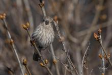 A house finch in Westborough, photographed by Nancy Wright.
