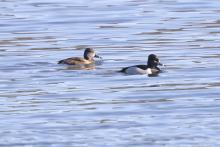 Ring-necked ducks at Hager Pond in Marlborough, photographed by Steve Forman.