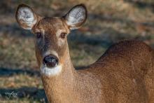 A white-tailed deer in Westborough, photographed by Nancy Wright.