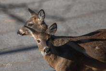 White-tailed deer in Westborough, photographed by Nancy Wright.