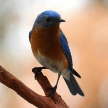 An eastern bluebird in Lincoln, photographed by Ron McAdow.