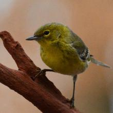 A pine warbler in Lincoln, photographed by Ron McAdow.