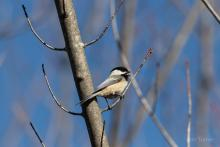 A black-capped chickadee in Bolton, photographed by Jon Turner.