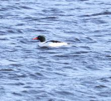 A common merganser at the Sudbury Reservoir in Southborough, photographed by Steve Forman.