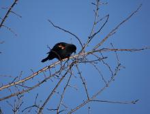 A red-winged blackbird along the Boroughs Loop Trail, photographed by Victoria Holland.