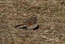 A song sparrow along the Boroughs Loop Trail, photographed by Victoria Holland.