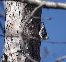 A white-breasted nuthatch along the Boroughs Loop Trail, photographed by Victoria Holland.