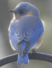 An eastern bluebird in Sudbury, photographed by Sharon Tentarelli.