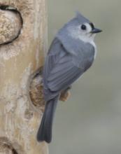 A tufted titmouse in Sudbury, photographed by Sharon Tentarelli.