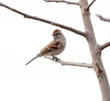 An American tree sparrow at Breakneck Hill Conservation Land in Southborough, photographed by Steve Forman.